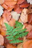 Helechos en hojas de la haya Foto de archivo libre de regalías