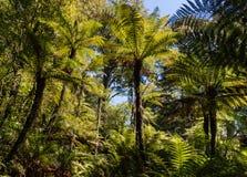 Helechos gigantes que crecen en selva tropical Imagen de archivo libre de regalías