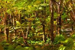 Helechos. Selva tropical de Hawaian. Foto de archivo