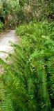 Helechos tropicales imagen de archivo