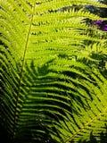 Helechos verdes Fotos de archivo libres de regalías