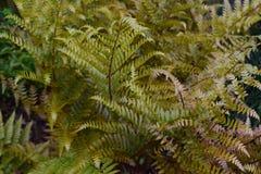 Helechos verdes delicados con las hojas delicadas Foto de archivo