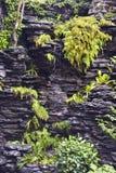 Helechos verdes en el esquisto negro con la cascada Imagen de archivo libre de regalías