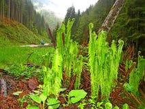Helechos verdes en un bosque mojado Foto de archivo libre de regalías