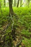 Helechos y bosque, área rosada de las camas, Pisgah N-F, NC fotografía de archivo