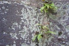 Helechos y Moss Growing en un muro de cemento Imagen de archivo libre de regalías
