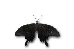 Helen black butterfly. Isolated on white Stock Photos