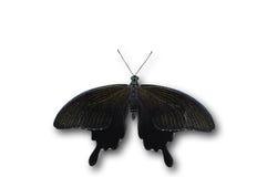 Helen black butterfly Stock Photos