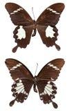 Helen Butterfly blanco y negro Foto de archivo