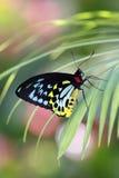 helena motyli troides Zdjęcia Royalty Free