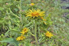 Helenio medicinal 1 de la hierba Foto de archivo