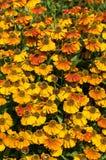Helenium'Sahin的早Flowerer' 免版税库存照片