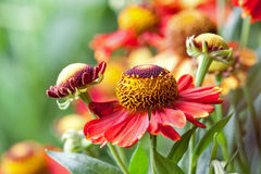 Helenium Royalty Free Stock Images