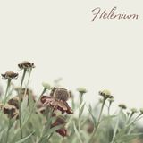 Helenium Photo stock