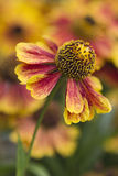 Helenium Photos stock