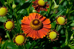 Helenium Royalty Free Stock Photography