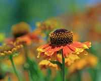 Helenium Photographie stock