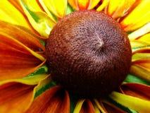 Helenium autumnale在庭院里 红色和黄色花-美丽的大橙黄红色花翠菊宏指令gelenium 免版税图库摄影