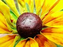 Helenium autumnale在庭院里 红色和黄色花-美丽的大橙黄红色花翠菊宏指令gelenium 免版税库存图片