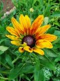 Helenium autumnale在庭院里 红色和黄色花-美丽的大橙黄红色花翠菊宏指令gelenium 图库摄影