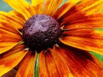 Helenium autumnale在庭院里 红色和黄色花-美丽的大橙黄红色花翠菊宏指令gelenium 库存图片