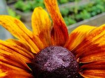 Helenium autumnale在庭院里 红色和黄色花-美丽的大橙黄红色花翠菊宏指令gelenium 库存照片