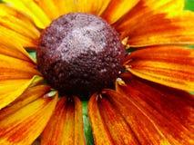 Helenium autumnale在庭院里 红色和黄色花-美丽的大橙黄红色花翠菊宏指令gelenium 免版税库存照片