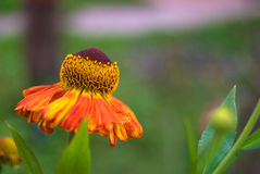 Helenium autumnale Royalty Free Stock Images