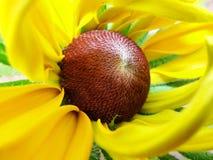Helenium autumnale in de tuin Rode en gele bloem - mooie grote geeloranje rode macrogelenium van de bloemaster Royalty-vrije Stock Foto