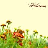Helenium Stock Images