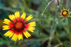 Helenium brilhante bonito da flor no prado verde de florescência Fotos de Stock