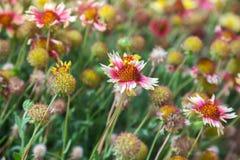 Helenium färgrika lösa blommor på sommaräng Arkivbild