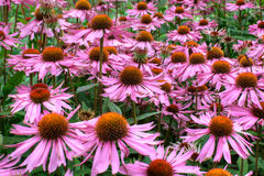 Large daisy-like cone flowers. Royalty Free Stock Photos