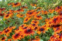Helenium flowers. Orange and chocolate large helenium flowers in a garden Stock Photos