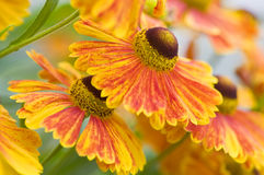Helenium flowers Royalty Free Stock Images