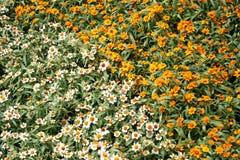 Helenium flowers Stock Image