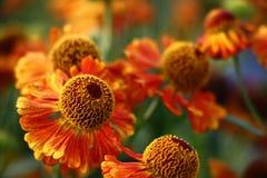 Helenium flowers. Stock Photo