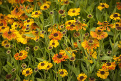Helenium Flowers Stock Images