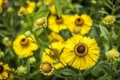 Helenium Flowers. Bright yellow Helenium flowers close up Royalty Free Stock Photography