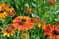 Helenium flowers Royalty Free Stock Image