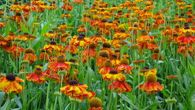 Helenium Flowers Royalty Free Stock Photo