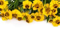 Helenium gele bloemen op witte achtergrond Stock Afbeelding