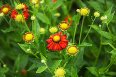 Helenium hybridum flowers Stock Photos