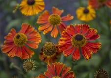 Helenium kwiat obrazy stock