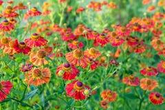 Helenium kwiat Sezon jesieni tło zdjęcie royalty free