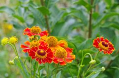 Helenium Royalty Free Stock Photo