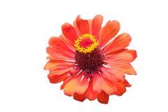 Helenium rosso Fotografie Stock