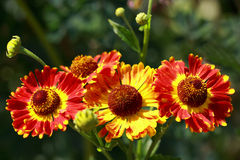 Helenium (solar herb) Royalty Free Stock Images