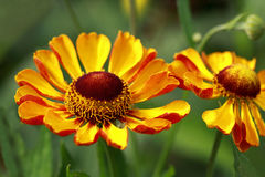 Helenium (solar herb) Stock Photos