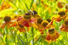 Helenium Waltraut autumnale family Asteraceae bright orange red yellow flowers with carved plaster and large brown heart and bee. Helenium Waltraut autumnale stock photo